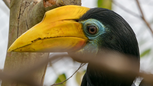 Animals, Birds, Marwell Zoo, Wrinkled Hornbill @ Marwell Zoo, City of Winchester,England - 28/01/2018