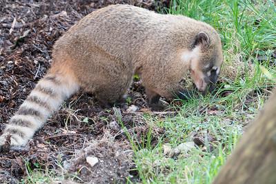Animals, Coati, Marwell Zoo, Ring-tailed Coati @ Marwell Zoo, City of Winchester,England - 28/01/2018