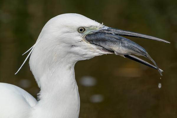 Animals, Birds, Egret, Little Egret, Marwell Zoo, Walkthrough Aviary @ Marwell Zoo, City of Winchester,England - 28/01/2018