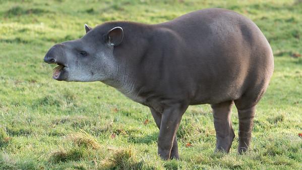 Animals, Lowland Tapir, Marwell Zoo, Tapir @ MarWell Zoo, City of Winchester,England
