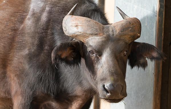 Animals, Buffalo, Congo Buffalo, Marwell Zoo @ MarWell Zoo, City of Winchester,England
