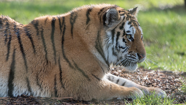 Amur Tiger, Animals, Big Cat, Marwell Zoo, Siberian Tiger, Tiger @ MarWell Zoo, City of Winchester,England - 29/12/2017