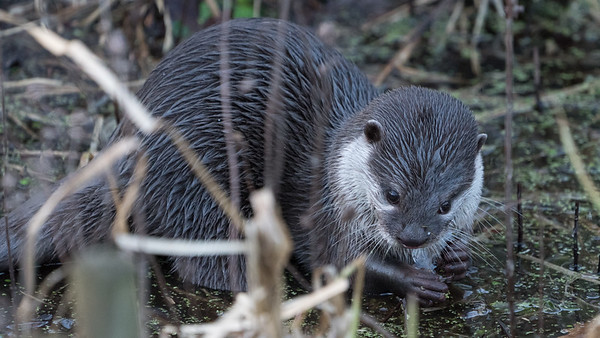 Animals, Marwell Zoo, Oriental Short-Clawed Otter, Otter @ MarWell Zoo, City of Winchester,England