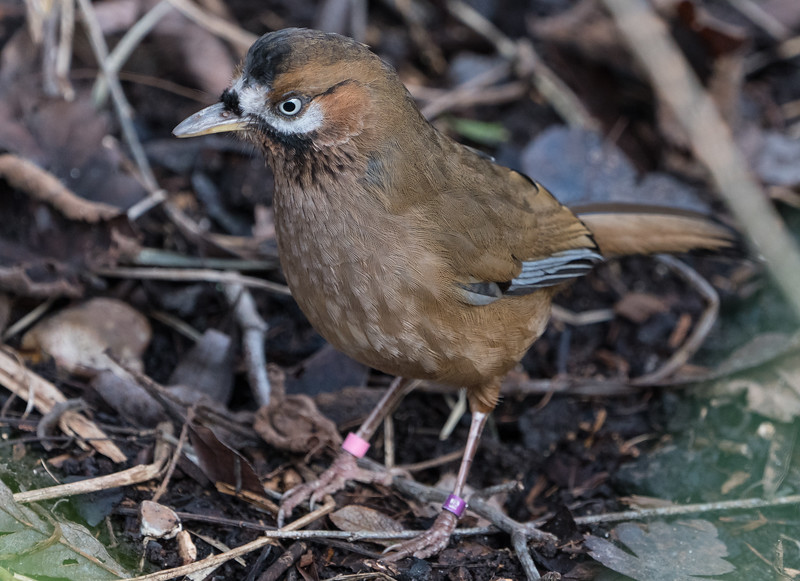 Animals, Birds, Laughingthrush, Marwell Zoo, Moustached Laughingthrush, Walkthrough Aviary @ MarWell Zoo, City of Winchester,England