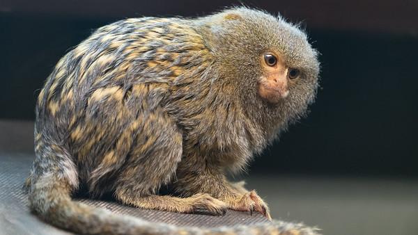 Animals, Marwell Zoo, Pygmy Marmoset @ MarWell Zoo, City of Winchester,England