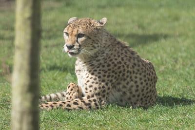 Animals, Big Cat, Cheetah, Marwell Zoo - 30/03/2016