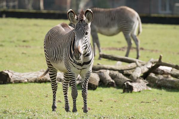 Animals, Marwell Zoo, Zebra - 30/03/2016
