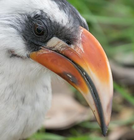 Animals, Birds, Marwell Zoo, Von der Decken's Hornbill - 30/03/2016