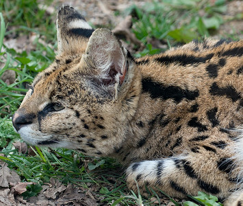 Animals, Big Cat, Marwell Zoo, Serval - 30/03/2016