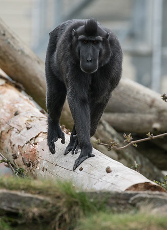 Animals, Macaque, Marwell Zoo, Sulawesi Crested Black Macaque - 30/03/2016