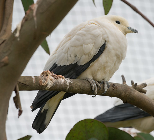 Animals, Birds, Marwell Zoo, Pied Imperial Pigeon - 30/03/2016
