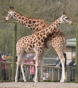 Animals, Giraffe, Marwell Zoo, Rothschilds Giraffe - 30/03/2016