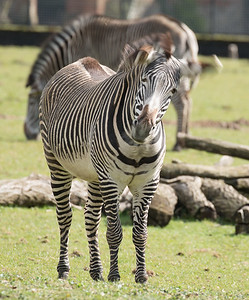 Animals, Marwell Zoo, Zebra - 30/03/2016