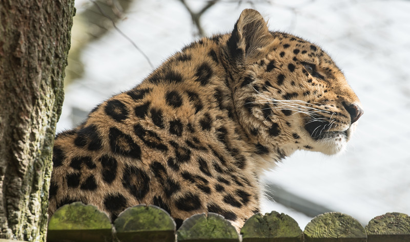 Amur Leopard, Animals, Big Cat, Leopard, Marwell Zoo - 30/03/2016
