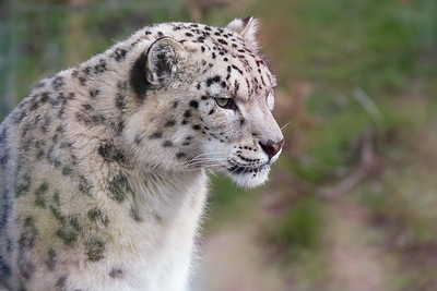 Animals, Big Cat, Leopard, Marwell Zoo, Snow Leopard - 30/03/2016