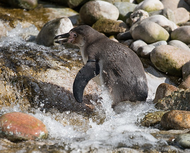 Animals, Birds, Humboldt, Marwell Zoo, Penguin - 30/03/2016