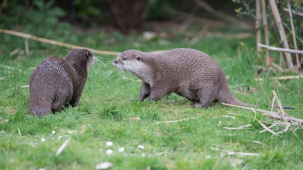 Animals, Marwell Zoo, Oriental Short-Clawed Otter, Otter - 30/03/2016