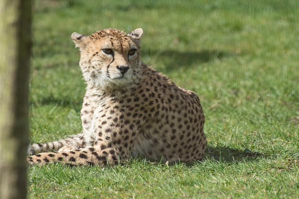 Animals, Big Cat, Cheetah, Marwell Zoo - 30/03/2016