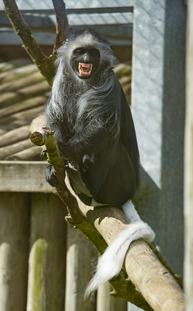 Animals, Marwell Zoo, Western black-and-white Colobus - 30/03/2016