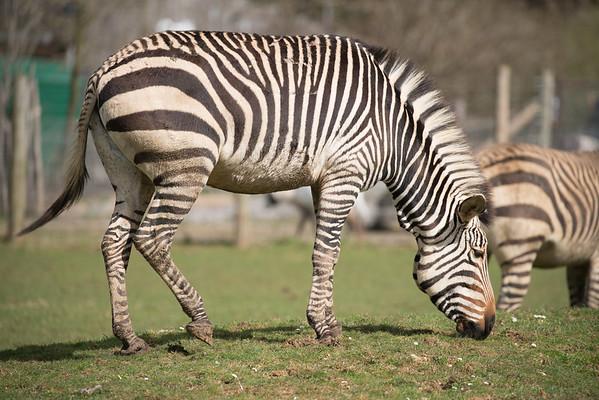 Animals, Grevy's Zebra, Marwell Zoo, Zebra - 30/03/2016