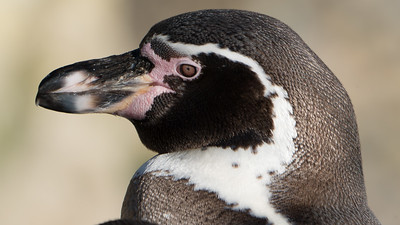 Animals, Birds, Humboldt, Marwell Zoo, Penguin