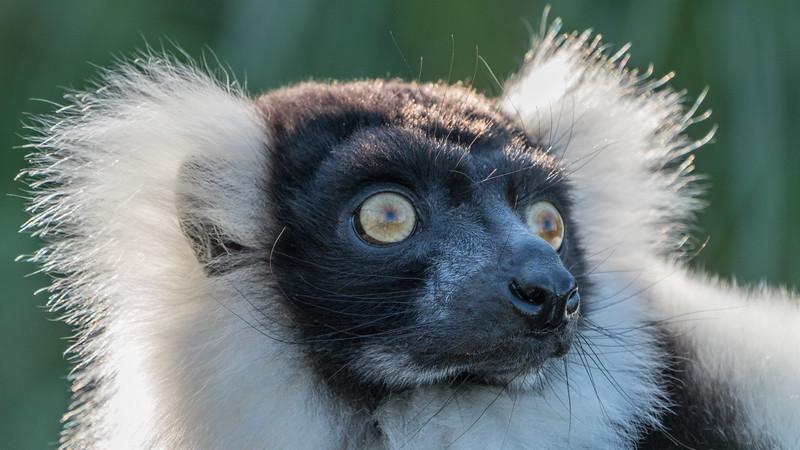 Animals, Black and White Ruffed Lemur, Lemur, Marwell Zoo @ MarWell Zoo, Owslebury,England