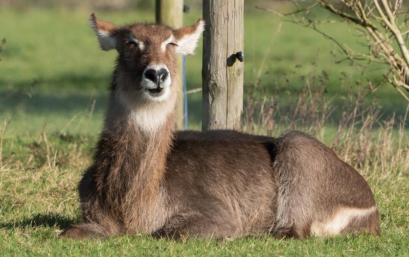 Addax, Animals, Marwell Zoo @ MarWell Zoo, Owslebury,England
