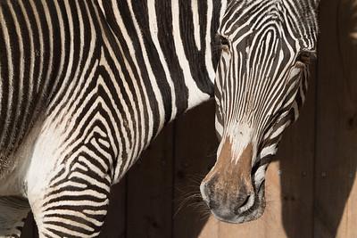 Animals, Marwell Zoo, Zebra @ MarWell Zoo, Owslebury,England