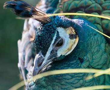 Animals, Birds, GreenPeafowl, Marwell Zoo @ MarWell Zoo, Owslebury,England