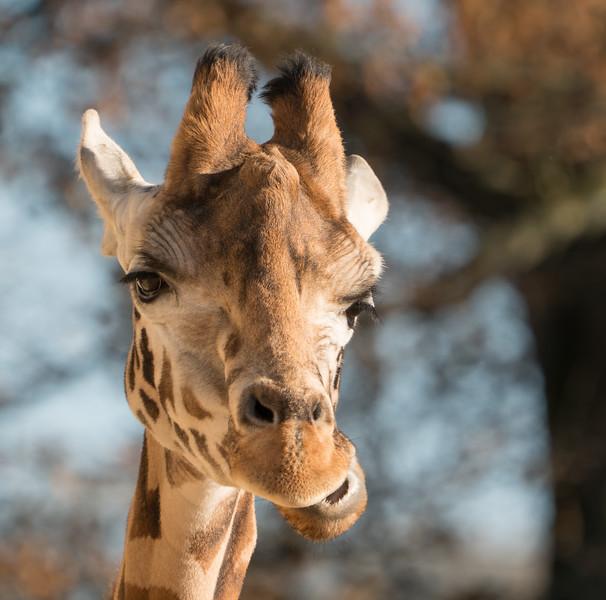 Animals, Giraffe, Marwell Zoo, Rothschilds Giraffe @ MarWell Zoo, Owslebury,England