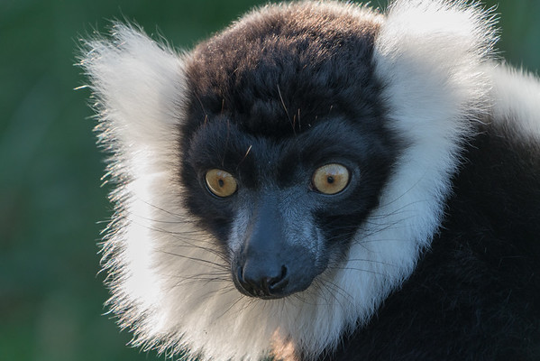 Animals, Black and White Ruffed Lemur, Lemur, Marwell Zoo @ MarWell Zoo, Owslebury,England