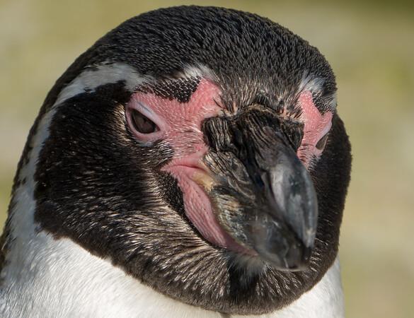 Animals, Birds, Humboldt, Marwell Zoo, Penguin