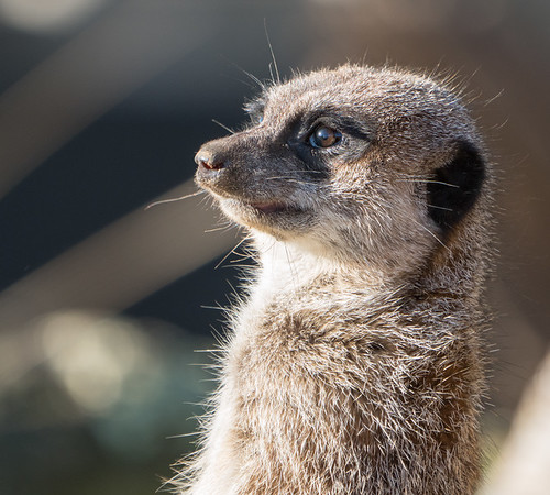 Animals, Marwell Zoo, Meerkat, Slender-tailed Meerkat @ MarWell Zoo, Owslebury,England - 30/11/2017