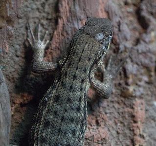 Animals, Lizard, Marwell Zoo, Northern Curly-tailed Lizard @ MarWell Zoo, City of Winchester,England