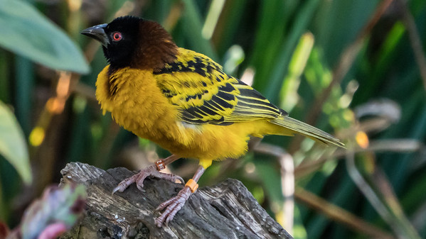 Animals, Birds, Marwell Zoo, Village Weaver @ MarWell Zoo, City of Winchester,England