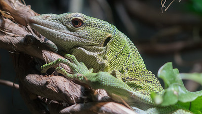 Animals, Emerald Tree Monitor, Marwell Zoo @ MarWell Zoo, City of Winchester,England