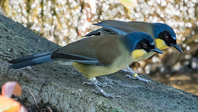 Animals, Birds, Blue-crowned Laughingthrush, Laughingthrush, Marwell Zoo @ MarWell Zoo, City of Winchester,England