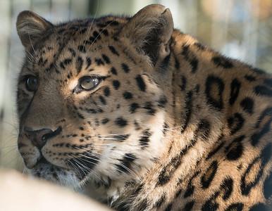 Amur Leopard, Animals, Big Cat, Leopard, Marwell Zoo @ MarWell Zoo, Owslebury,England