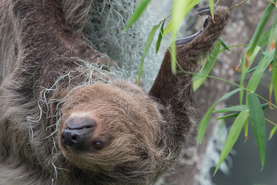 Animals, Linnes Two-toed Sloth, Marwell Zoo, Sloth, Tropical House @ Marwell Zoo, City of Winchester,England - 26/04/2018