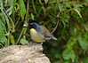 Blue Crowned Laughingthrush