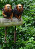 Golden Headed Lion Tamarins