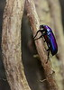 Purple Jewel Beetle