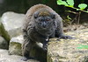 Lac Alaotra Gentle Lemur