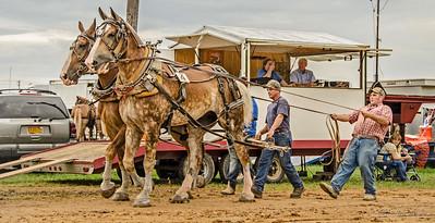 Draft Horses in Motion