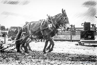 2016/08/06 Mule Pull Contest