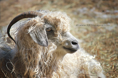 Angora goat