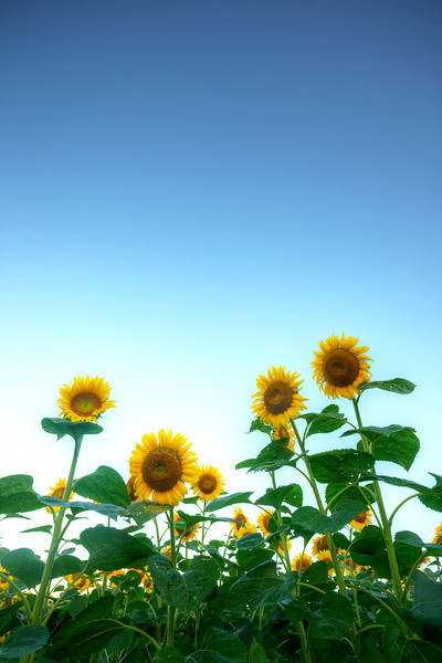 Sunflowers are Back!