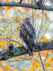 Hawk 3 Nov 2018-3964