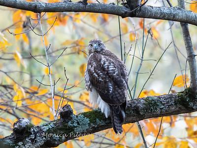 Hawk 3 Nov 2018-3961