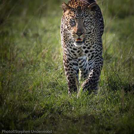 Prowling leopard. 'Shujaa', son of 'Siri'.  April 2014.